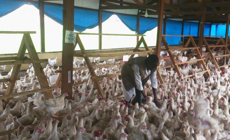 Polli e galline per rilanciare la filiera avicola a Bangui